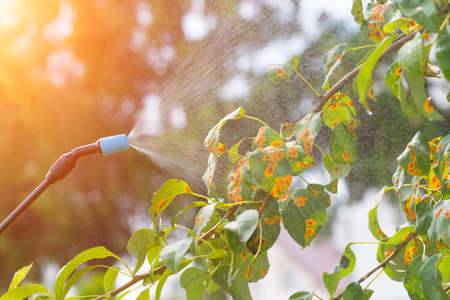 Spraying tree in the garden with water or plant protection products such as pesticides against diseases and pests Stock Photo