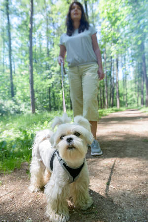 Woman walking with Maltese dog in the summer park. photo