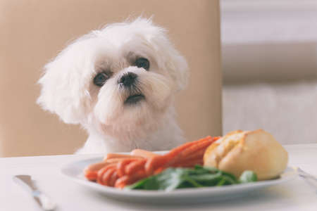 Cute white dog Maltese sitting on a chair at the table and begging for food like sausage which is on a plate. Imagens - 91708774