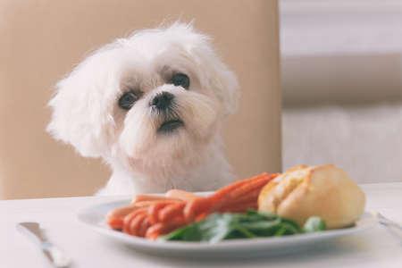 Netter weißer Hund , der Malteser auf einem Stuhl am Tisch sitzt und für Lebensmittel nahe Wurst isst , liest auf einem Teller