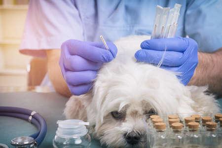 Veterinario che fa un trattamento di agopuntura sulla testa del cane Archivio Fotografico - 91968758