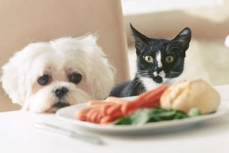 Cute white dog Maltese and cat sitting together on one a chair at the table and begging for food like sausage which is on a plate.