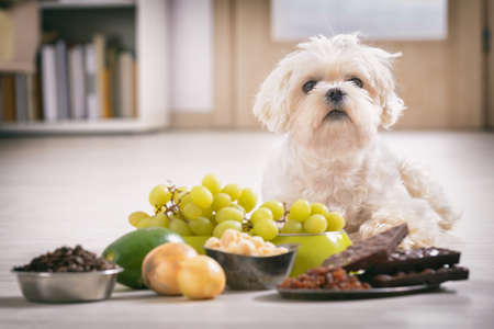 Weinig witte Maltese hond en voedselingrediënten giftig voor hem Stockfoto - 93068381