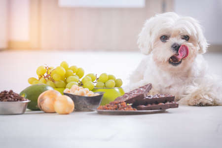 Little white maltese dog and food ingredients toxic to him Imagens - 97192549