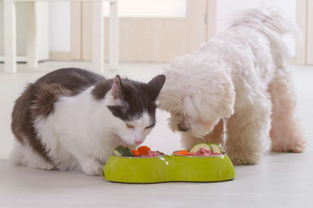 Little dog maltese and black and white cat eating natural, organic food from a bowl at home Banque d'images