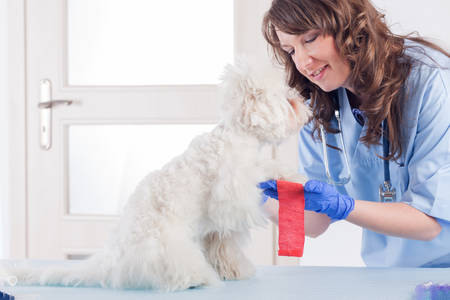 smiling woman vet puts a bandage on the dogs paw in vet clinic