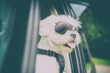 Small dog maltese in a car with open window. Dog wears a special dog car harness to keep him safe when he travels. Фото со стока