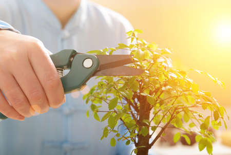 Growing little bonsai tree with special pruning scissors