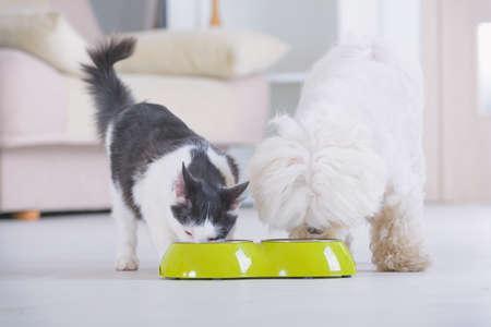 Mały pies maltański i czarno-biały kot jedzący jedzenie z miski w domu
