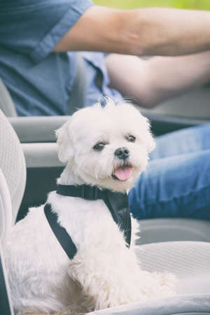 Small dog maltese in a car his owner in a background. Dog wears a special dog car harness to keep him safe when he travels. Standard-Bild