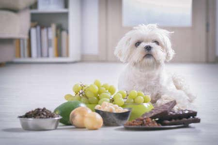 Petit chien maltais blanc et ingrédients alimentaires toxiques pour lui