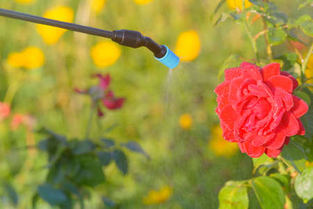 Spaying flowers in the garden with water or plant protection products such as pesticides against diseases and pests 스톡 콘텐츠