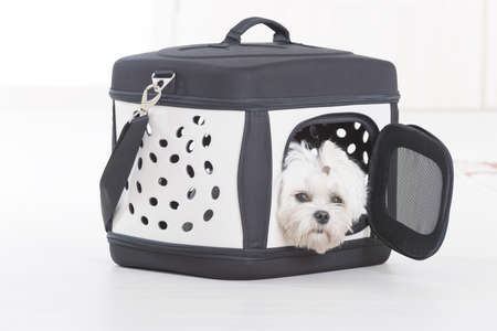 Small dog maltese sitting in transporter or bag and waiting for a trip Stockfoto
