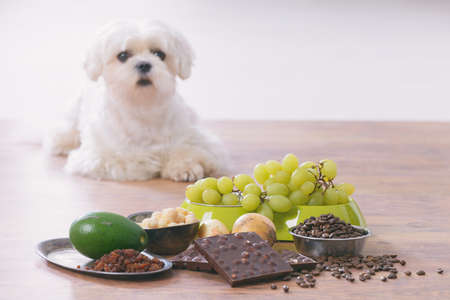 Little white maltese dog and food ingredients toxic to him Stock Photo