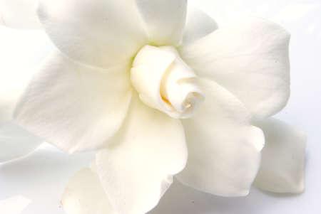 gardenia photo