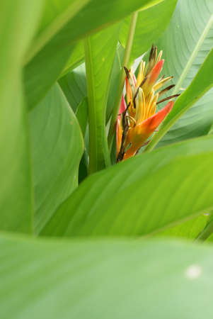 heliconia flower photo