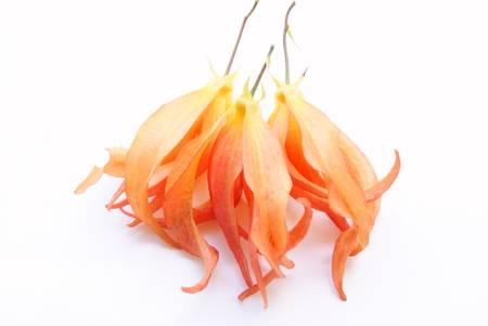 annonaceae: Desmos chinensis Lour , Annonaceae, Perfume Flower Stock Photo