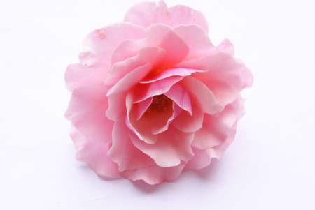 白い背景上に分離されてピンクのローズ 写真素材