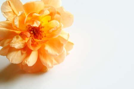 english rose: Rose,English Rose, Pat Austin