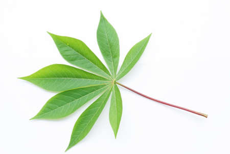 Green leaf isolate on white background, Cassava Stock Photo