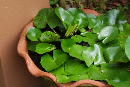 nymphaeaceae: NYMPHAEACEAE