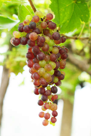 grapevine, vinery photo