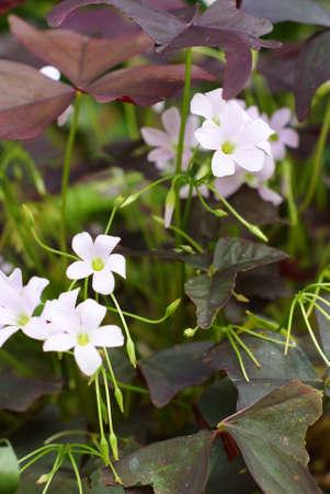 oxalis: Oxalis purpurea, Oxalidaceae Stock Photo