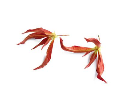 annonaceae: Desmos chinensis Lour ,Annonaceae