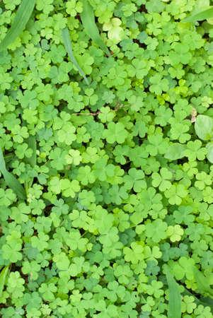 クローバーの葉、緑を葉します。 写真素材