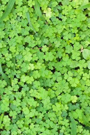 four fourleaf: Clover Leaf, Green leaves
