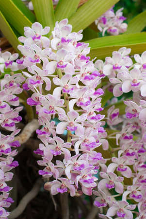 the species orchid  Rhynchostylis  of thailand,tropical flower photo