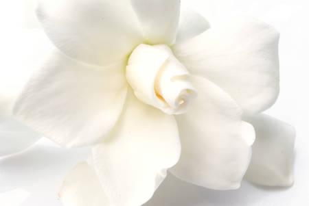 Gardenia bianca, buono per sfondo estetico Archivio Fotografico - 26461590