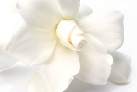 white gardenia, good for aesthetic background