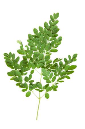 oleifera: Hoja verde del �rbol de r�bano de caballo, Palillo Moringa oleifera Lam Tailandia