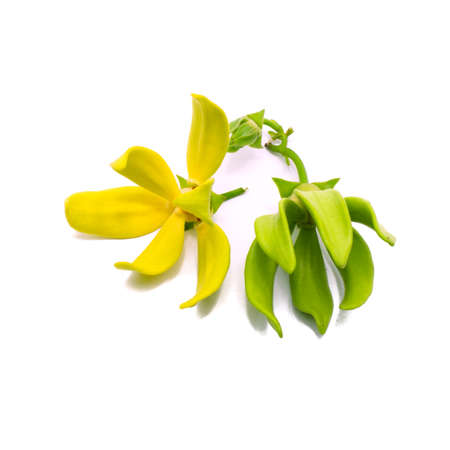 黄色い花の香り、イランイランの花 (カナンガ odroata)、白い背景で隔離 写真素材