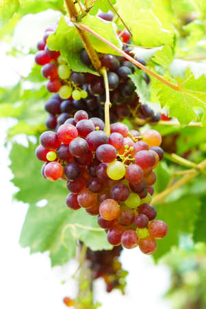 bunch of grapes on the vine with green leaves photo