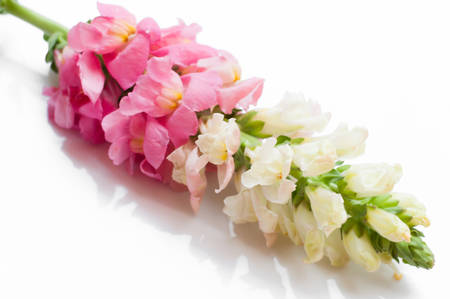 snapdragon: Single stem with pink flowers of snapdragons  Antirrhinum majus isolated against a white background Stock Photo