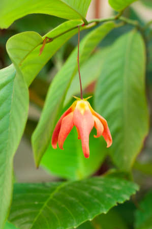 annonaceae: Dwarf Ylang-Ylang Shrub , Desmos cochinchinensis Lour