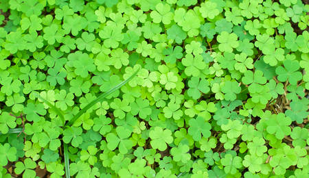 Bear Clover Leaf Green Stock Photo - 27798544