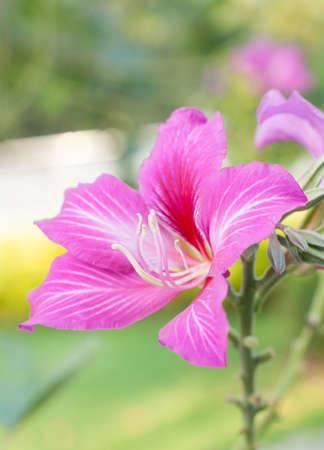 orchid tree: �rbol de las orqu�deas