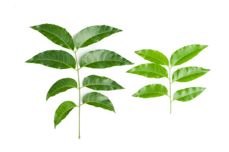 quinine: Siamese neem tree, Nim, Margosa, Quinine  Azadirachta indica A  Juss  Var  Siamensis Valeton  Stock Photo
