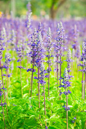 Clary Sage  Salvia sclarea  for background use photo