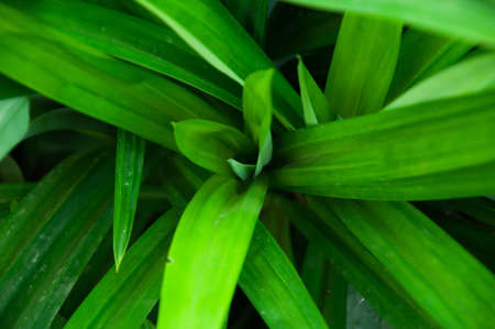 hardly: The scent of pandanus leaves develops only on withering; the fresh, intact plants hardly have any odour.