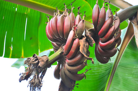 musa: Red bananas (Musa) Stock Photo