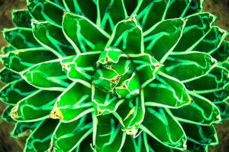 Sharp pointed agave plant leaves, Queen Victoria Agave photo