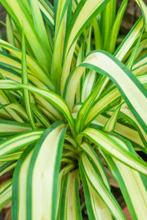 pandanus tree: Pandanus leaves are green blade shape, There are no flowers, fragrant scents