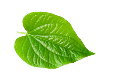Wild Betel Leafbush , Piper sarmentosum Roxb on white background photo