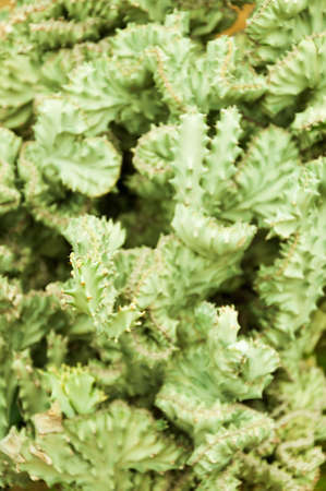Crested Euphorbia is a kind of tropical plant photo
