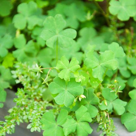 fortunateness: Bear Clover Leaf Green