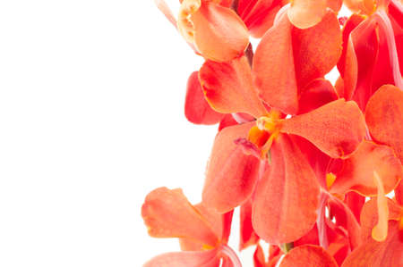 orange orchid isolated on white background photo